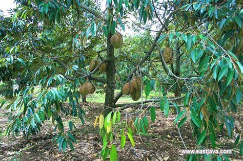 Pupuk Untuk Bunga Durian cara budidaya cara budidaya durian montong