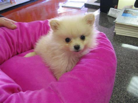 pomeranian puppies calgary baby pomeranian puppies for adoption calgary classifieds calgary free ads