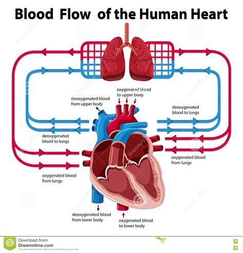 pattern of heart blood flow human heart blood flow vector illustration cartoondealer