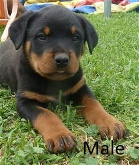 rottweiler mastiff cross puppies for sale the gallery for gt rottweiler cross staffy