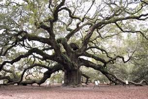 Plant Pests And Diseases Identification - how long do oak trees live hunker