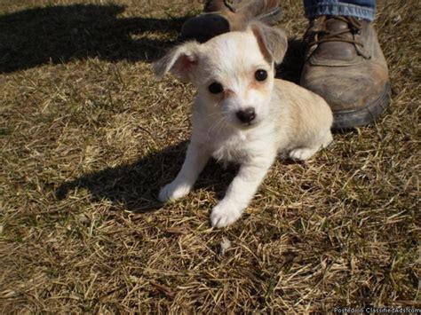 chihuahua poodle yorkie mix poohuahua chihuahua poodle mix price 800 00 for sale in oak grove alabama