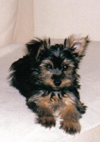 want to breed my yorkie 10 best images about x terrier mix on adoption