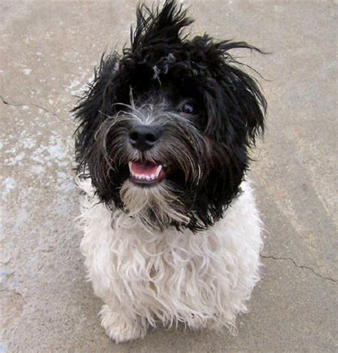 havanese breed profile havanese profile on encyclopedia breeds picture