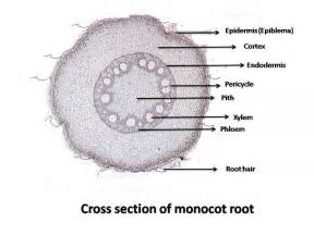 lab 4 root structure biology 3000 with rashotte at