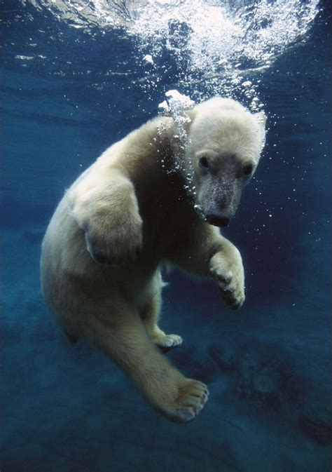 underwater polar bear slider puzzle 39 best polar bears