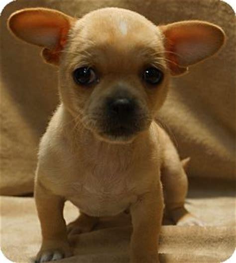 newark, de chihuahua. meet hugs a dog for adoption.