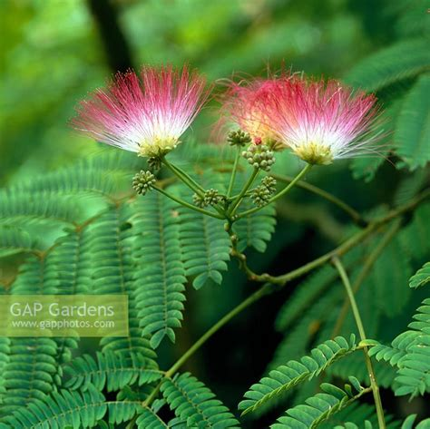 gap gardens albizia julibrissin f rosea silk tree a