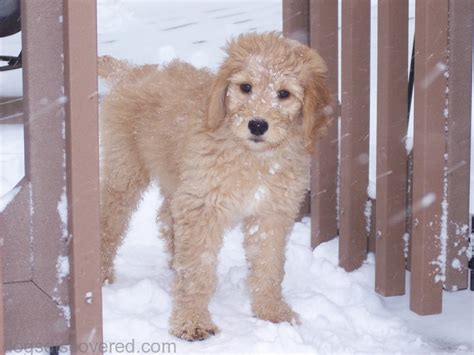 goldendoodle puppy potty goldendoodle mini goldendoodle dogs discovered