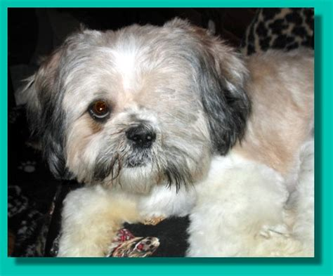 shih tzu going blind new page 1 www furbabyrescue