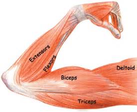 Pretty little diagram of your arm muscles for ya