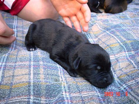 when do newborn puppies open their black newborn puppies www pixshark images galleries with a bite