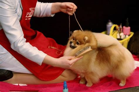dog c section cost health care tips for your pomeranian dog