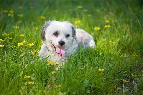 shih tzu garden 50 most beautiful shih tzu dogs for home golfian