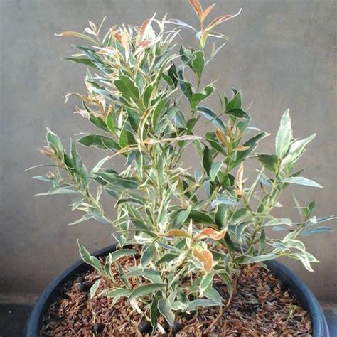 Jual Tanaman Pucuk Merah 1 jual pohon pucuk merah varigata jual tanaman hias jasa tukang taman tukang taman jual