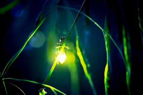 gambar kunang kunang  malam hari kumpulan gambar