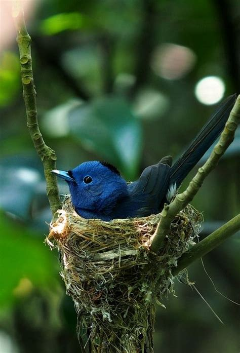 nesting blue bird pinterest