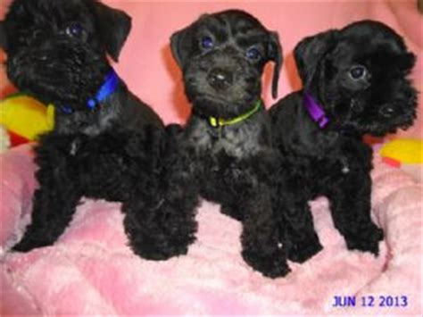 miniature schnauzer puppies for sale in michigan miniature schnauzer puppies for sale schnoodle puppies in michigan nonshed beautiful