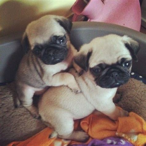 baby pugs for sale in ohio the 25 best baby pugs ideas on pugs pug puppies and pug puppies for sale