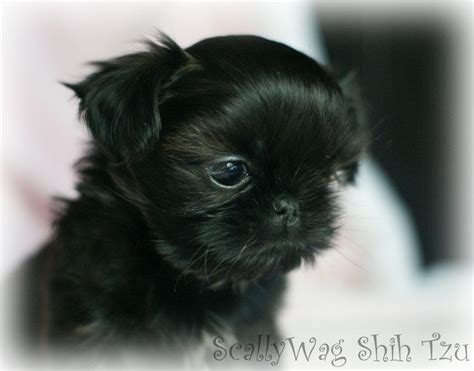 black shih tzu puppy the gallery for gt shih tzu poodle mix puppies black and white