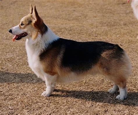 corgi puppy information information on corgi dogs goldenacresdogs