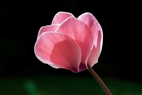 fiore ciclamino il ciclamino fiori da giardino fiori giardino