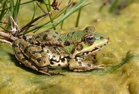 Picture 1 of 9 - Edible Frog (Pelophylax Kl. Esculentus ...
