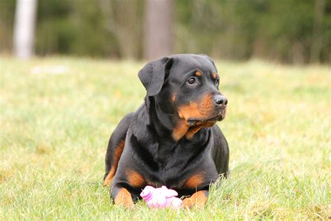 do rottweilers need a lot of exercise the rottweiler the happy puppy site