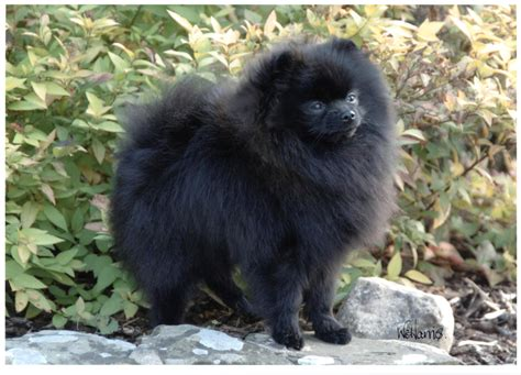black and pomeranian black and brown pomeranian puppies