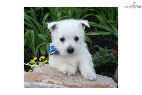 westie puppies near me west highland white terrier westie puppy for sale near louisiana 7536d815 2bf1