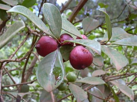 Bibit Mangga Manalagi Situbondo factsheet psidium cattleianum strawberry guava