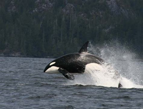 killer whale fluffy 21 best just smile images on cutest animals