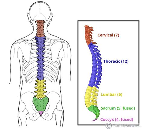 5 sections of the spine the vertebral column joints vertebrae vertebral