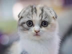 Scottish fold breed information pictures kitten price