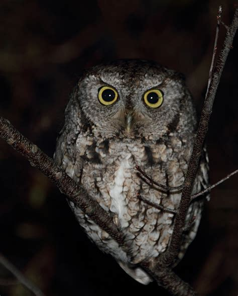 screech owls facts image search results