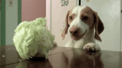 is cabbage for dogs cabbage gif find on giphy