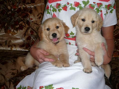 golden retrievers for sale in az puppies for sale golden retriever including american etc golden