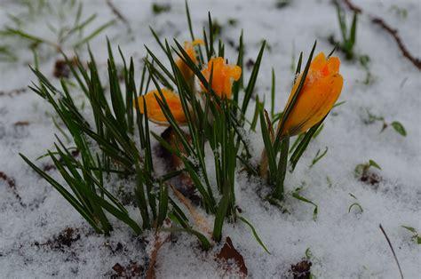 fiore neve fiori e neve immagine gratis domain pictures