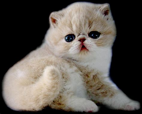 Kitten Medium Lucu foto kucing kucing surabaya kucing medium kucing