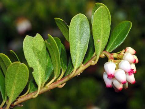 imagenes de uva ursi herbario de d vicente latorre y p 233 rez en ies padre luis