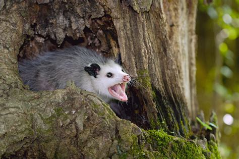 How To Get Rid Of Possums In Your Backyard by How To Get Rid Of Possums Nature S Defensenature S Defense