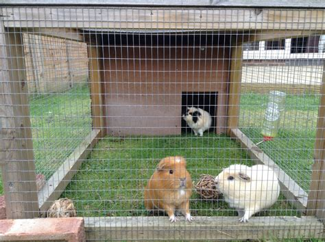 Guinea Pig Hutch With Run 3 guinea pigs with hutch and run for sale swindon