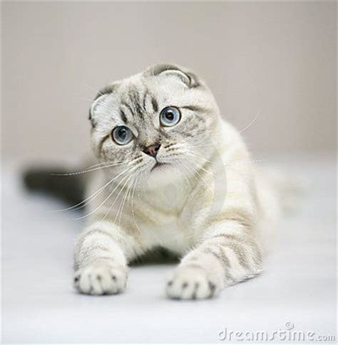 Balmut Kucing High Quality scottish fold the cutests cats in the world scottish folds ellemaddox cats