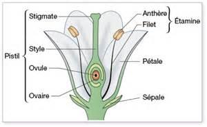 la fleur organe de reproduction des angiospermes annabac