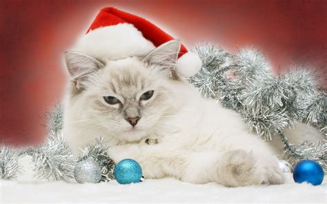 images of christmas cats christmas cat cats wallpaper 36711867 fanpop