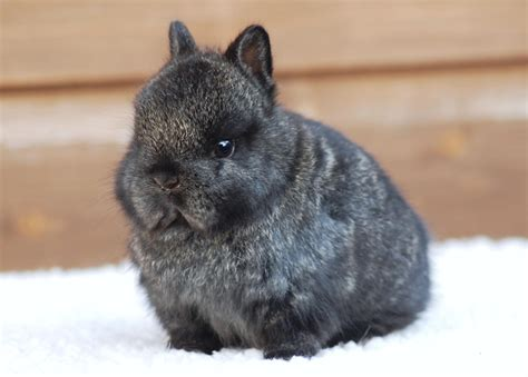 netherland rabbit colors lop colors ticked