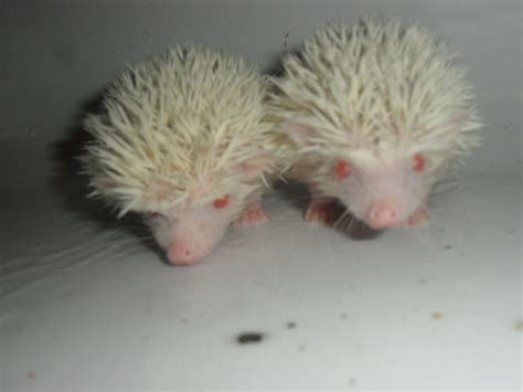 pet dogs for sale 2 baby pygmy hedgehogs for sale dover kent pets4homes