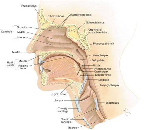 sagittal section of skull mid sagittal section of head neck nursing school