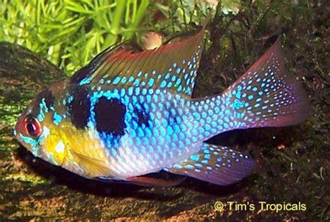 german blue ram cichlid for sale 10 images about peixes on malawi cichlids