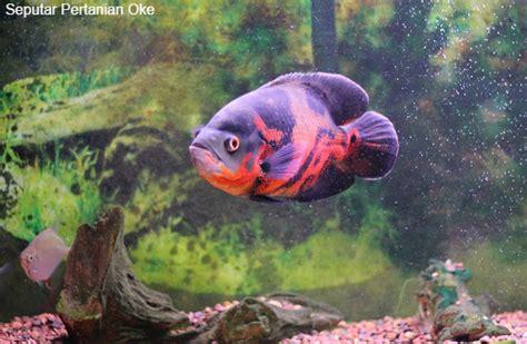 Fish Itu Ikan ikan hias air tawar aquarium yang ganas ikan oscar